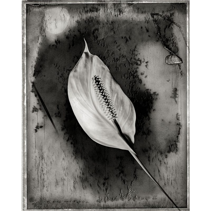 Galliani-Collection--Lily