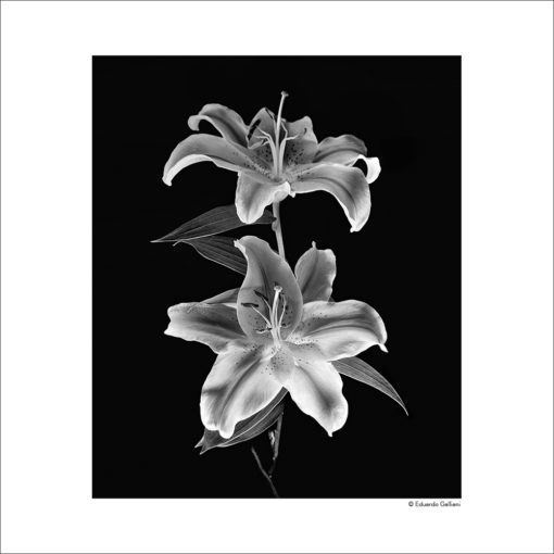 GALLIANI COLLECTION-DOUBLE LILY