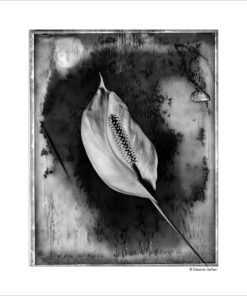 GALLIANI COLLECTION-Lily-P55b