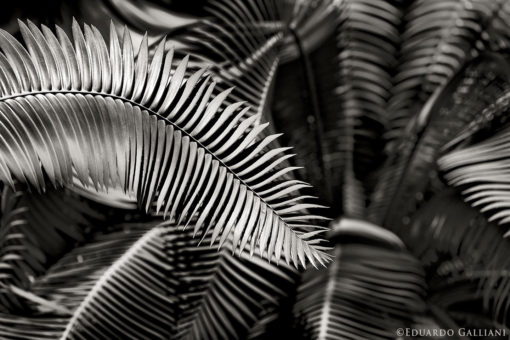 GALLIANI-Ferns-bw-2829b black and white photography